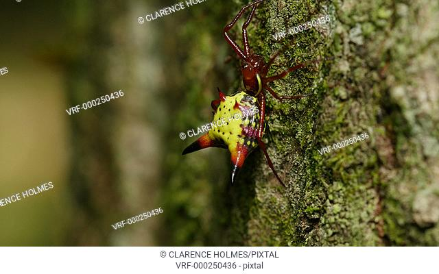 A female Arrowshaped Micrathena (Micrathena sagittata) spider clings to the side of a tree