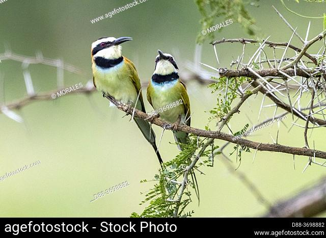 White-throated Bee-eater (Merops albicollis), perched on a rod, Ishasha Sector, Queen Elizabeth National Park, Uganda, Africa