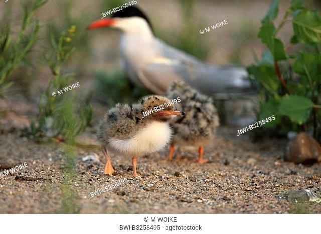 common tern Sterna hirundo, chick with adult on the ground, Germany, North Rhine-Westphalia