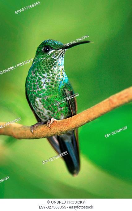 Female of hummingbird Green-crowned Brilliant, Heliodoxa jacula