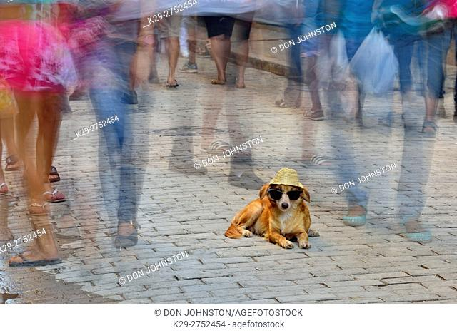 Street photography in Old Havana- Trained dog on the Obispo promenade with pedestrians, La Habana (Havana), Habana, Cuba