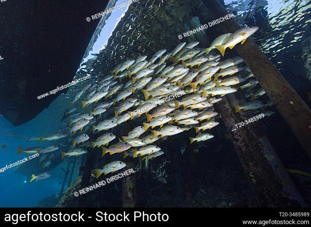 Shoal of One-spot Snapper below Jetty, Lutjanus monostigma, Fakarava, Tuamotu Archipel, French Polynesia