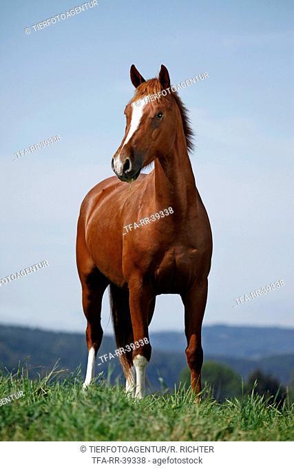 standing Pony