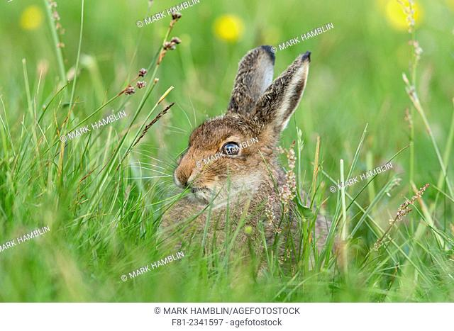 Mountain Hare (Lepus timidus) leveret feeding in summer meadow, Scotland