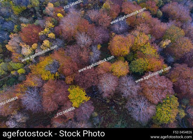 Aerial view, Landscape in autumn, Beech forest, Ramales de la Victoria, Alto Ason, Cantabria, Spain, Europe