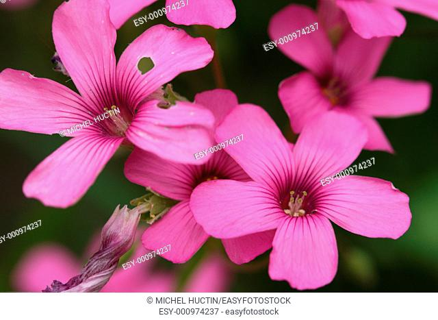 Caption: Oxalis articulata is a perennial creeping bass often Fam: Oxalidaceae The flowers are umbellate Issue pink