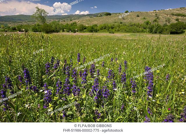 Blue Bugle Ajuga genevensis flowering, growing in meadow habitat, Rila Mountains, Bulgaria, may