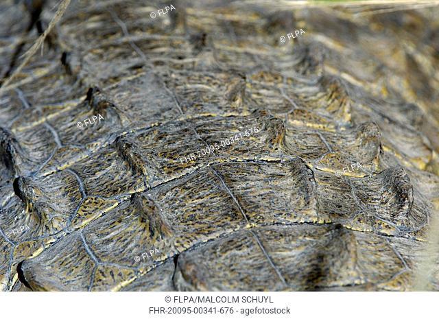 Nile Crocodile Crocodylus niloticus adult, close-up of scales on back, Shire River, Malawi