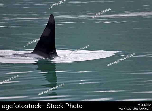 Schwertwal - (Killerwal - Weibchen) / Orca - (Killer Whale - female) / Orcinus orca