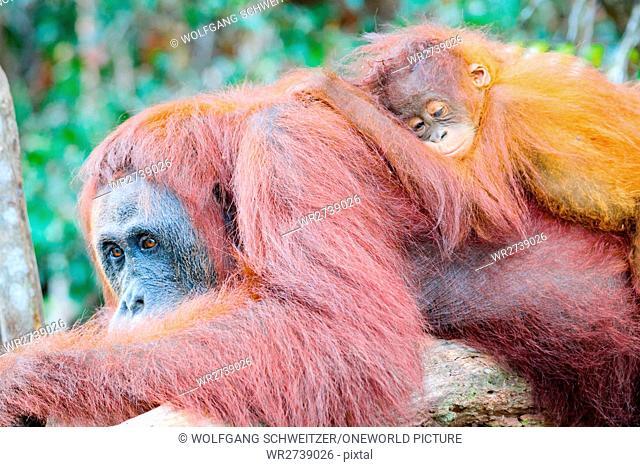 Indonesia, Kalimantan, Borneo, Kotawaringin Barat, Tanjung Puting National Park, Orangutan Lady with Child