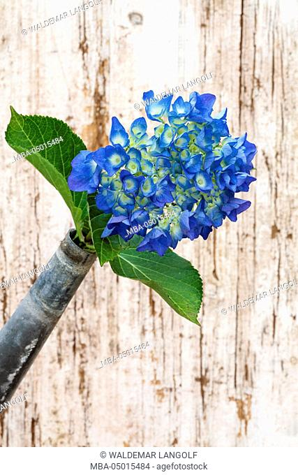 Blue hydrangea, watering can as a vase
