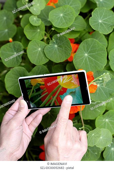 Nasturtiums and hands holding a smartphone
