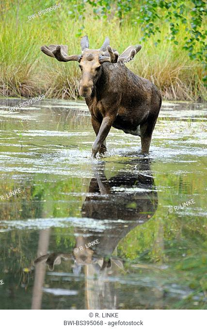 moose, elk (Alces alces), bull elk walking through a pond, Germany