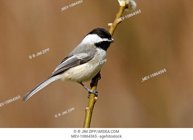 Black-capped Chickadee (Poecile atricapilla). USA