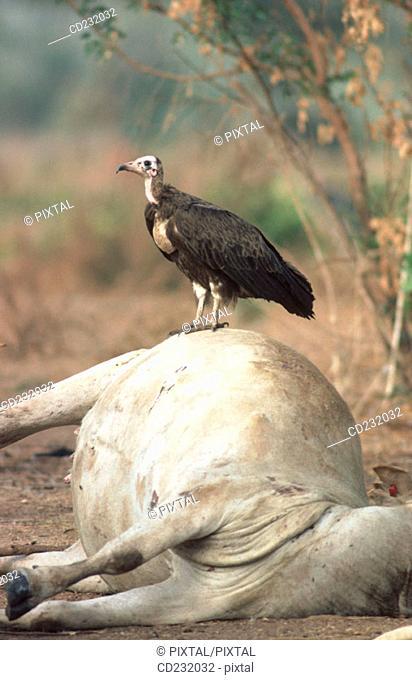 Hooded vulture (Necrosyrtes monachus) feeding on African cattle