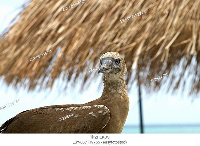 Red-Footed Booby on Palm Straw Background in Natural Environment. Maldivian Islands