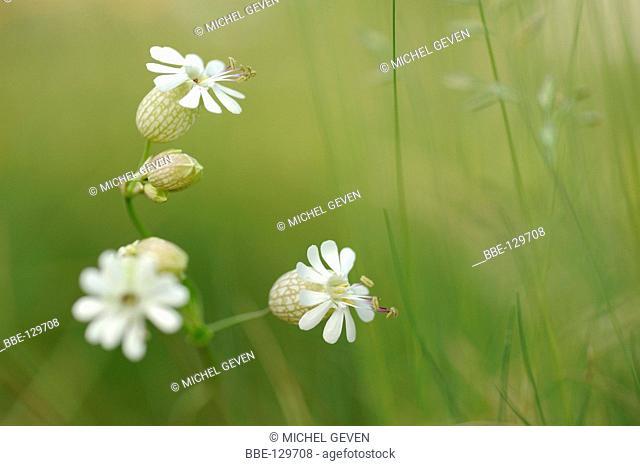 Flowering Bladder Campion