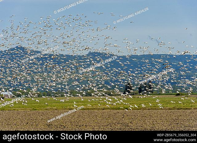 Snow geese (Chen caerulescens) flying over a field in the Skagit Valley near Mount Vernon, Washington State, USA