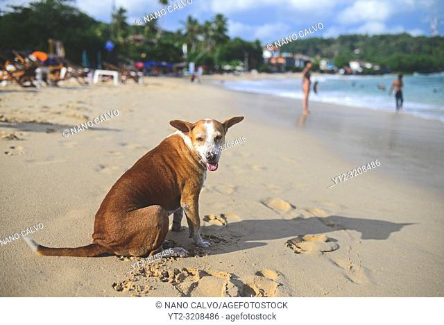 Dog in Unawatuna beach, Sri Lanka