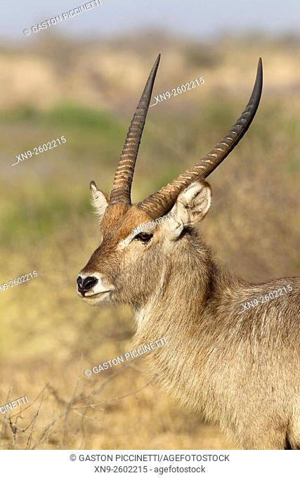 Waterbuck (Kobus ellipsiprymnus) - Male, Kruger National Park, South Africa