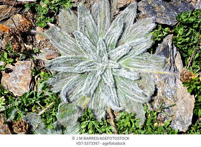 Estrella de las nieves (Plantago nivalis) is a perennial herb endemic to Sierra Nevada. This photo was taken in Sierra Nevada National Park, Granada province