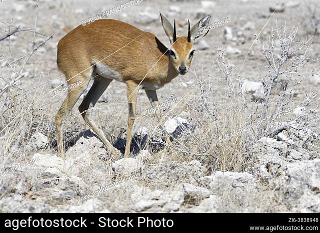 Steenbok (Raphicerus campestris), adult male foraging, Etosha National Park, Namibia, Africa