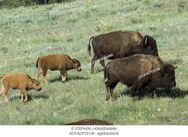 American Bison cows and calves Bison bison walking through mixed grassland. Custer State Park, South Dakota, USA
