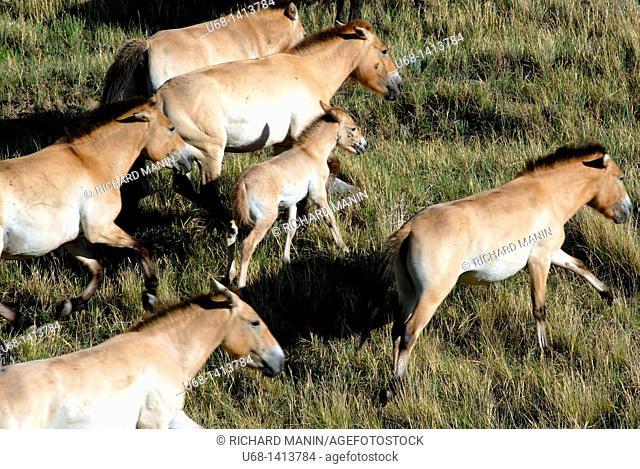Mongolia Hustai National Park, Przewalski horse discovered in 1879 by Nikolai Przewalski