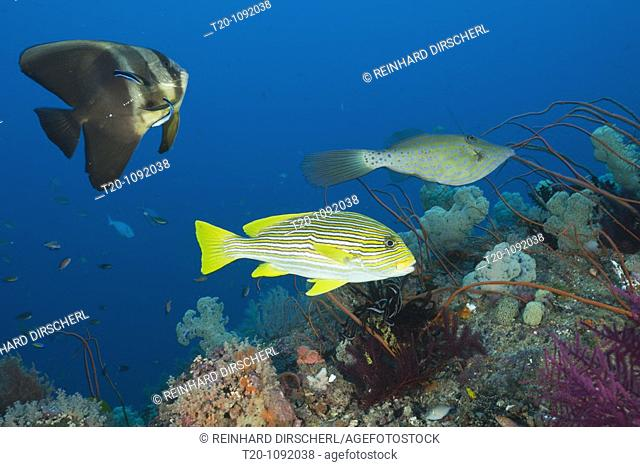Longfin Batfish and Yellow-ribbon Sweetlips at Cleaning Station, Platax teira, Plectorhinchus polytaenia, Raja Ampat, West Papua, Indonesia
