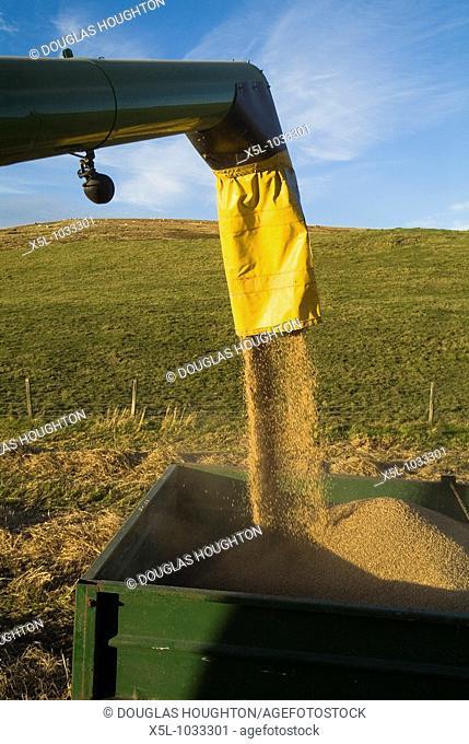 HARVESTING FARMING Combine harvesters barley funnel filling up trailer