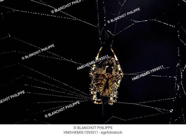 France, Araneae, Araneidae, European garden spider (Araneus diadematus) on its web, ventral side