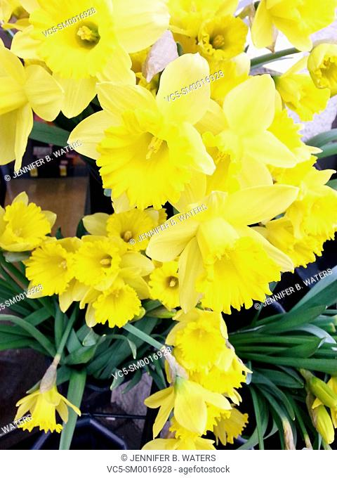Close-up of daffodils for sale at a store