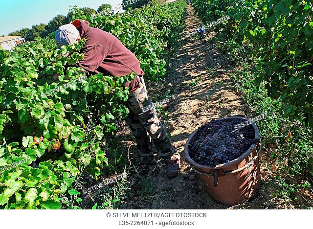 A worker picks grapes by hand