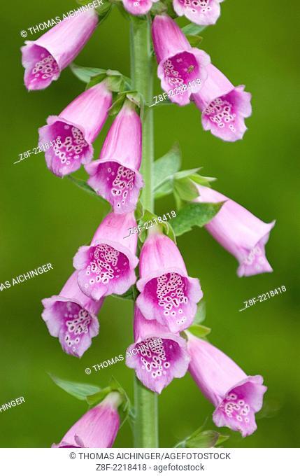 Common Foxglove (Digitalis purpurea L.)