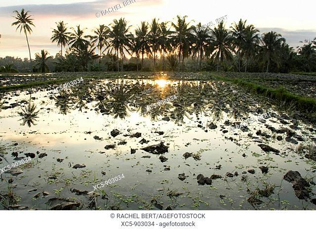 Rice Fields at dusk, Ubud, Bali, Indonesia