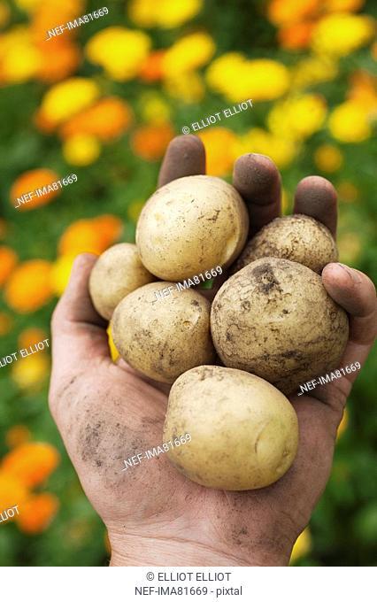 Hand holding potatoes full of earth, Sweden