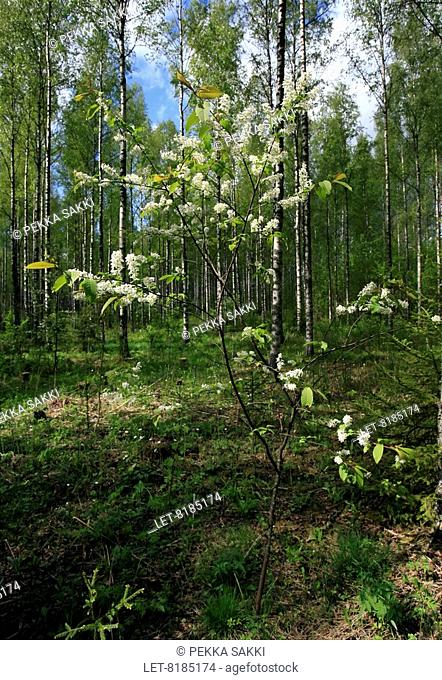 Young bird-cherry tree in bloom