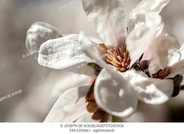 Magnolia 'Kobus' flowering tree
