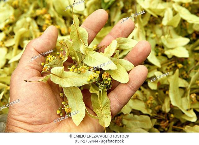 Linden tree. Tilia platiphyllos