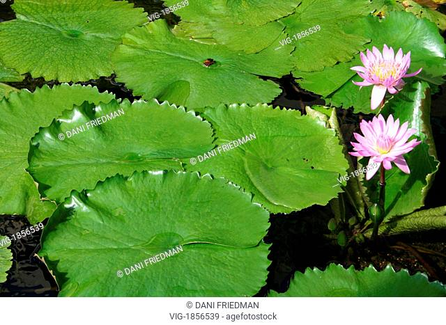 Lily pads with pink blossoms in a pond in Honolulu, Hawaii. - HONOLULU, HAWAII, UNITED STATES OF AMERICA, 21/07/2007