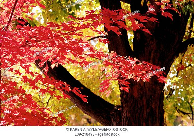 Autumn foliage -- red leaves in foreground, tree trunk, yellow leaves in background -- Bloomington, Indiana, USA