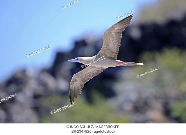 Red-footed Booby (Sula sula), brown variant, in flight, Genovesa Island, Tower Island, Galápagos Islands, Unesco World Heritage Site, Ecuador, South America