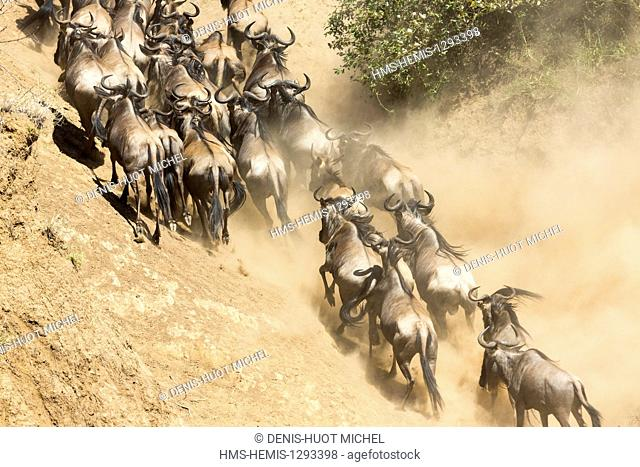 Kenya, Masai Mara national reserve, wildebeest (Connochaetes taurinus), Migration, crossing the Mara river