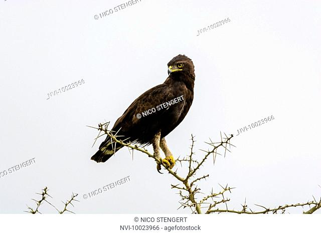 Long-crested eagle (Lophaetus occipitalis), Queen Elizabeth National Park, Uganda, Africa