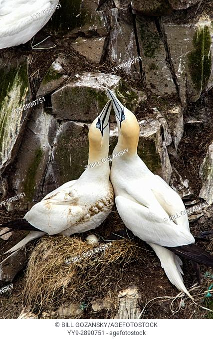 Northern Gannet (Morus bassanus) courtship behavior at Cape St. Mary's Ecological Reserve, Cape St. Mary's, Avalon Peninsula, Newfoundland, Canada