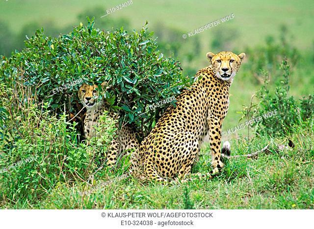 Cheetah with cub (Acinonyx jubatus). Masai Mara. Kenya