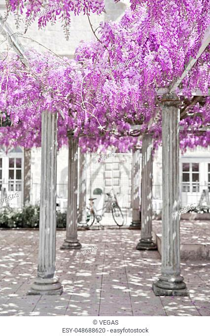 Wisteria flower arch with white column, spring purple park, natural lilac background