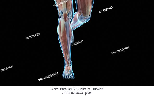 Muscular system of a human jogging, animation