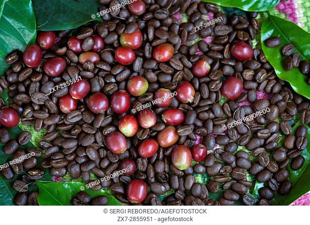 Different coffee beans before and after roasting at Hacienda San Alberto, Buenavista. Quindio, Colombia. Colombian coffee growing axis