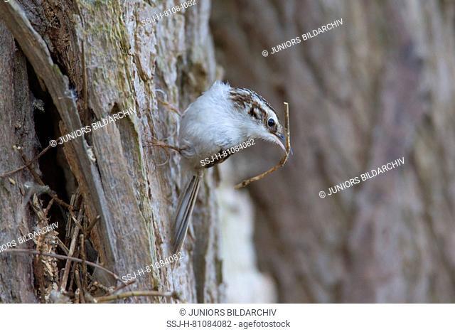 Common Treecreeper (Certhia familiaris) with nesting material. Germany